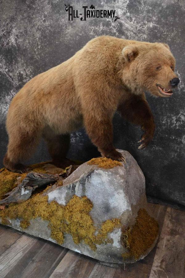 Bear Taxidermy