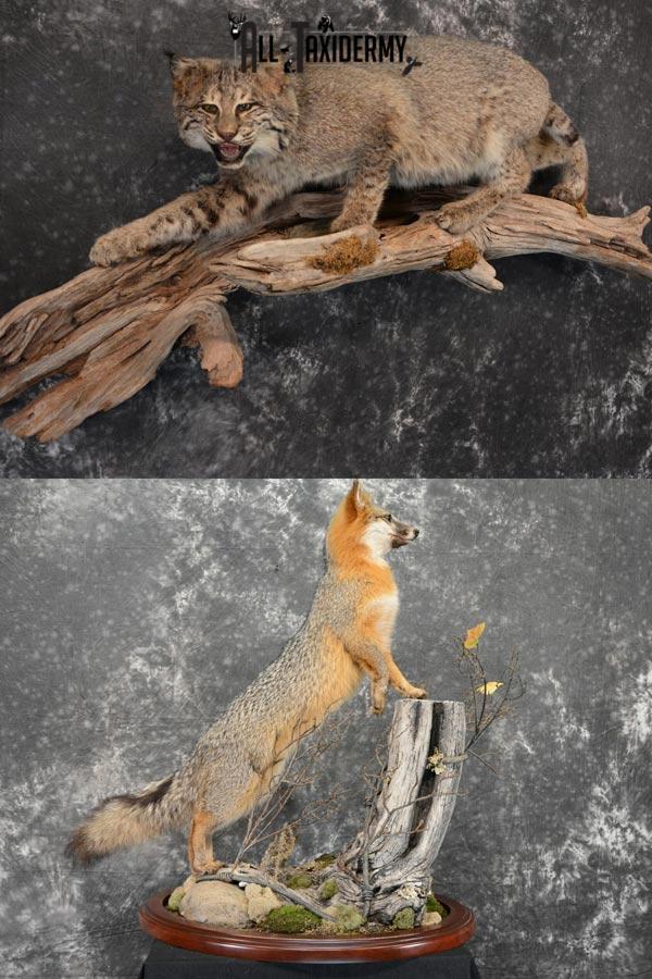 Small Game Taxidermy, Bobcat/Gray Fox